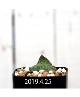 Resnova megaphylla Seedling 14009
