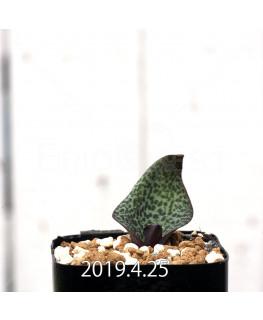 Resnova megaphylla Seedling 14012