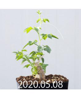 Momordica rostrata EQ783 Seedling 15097