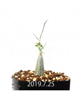 Momordica rostrata EQ783 Seedling 15099