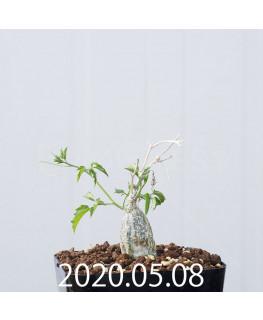 Momordica rostrata EQ783 Seedling 15103