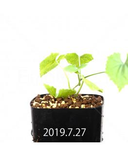Ibervillea lindheimeri EQ793 Seedling 15155
