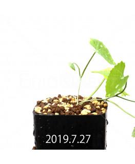 Ibervillea lindheimeri EQ793 Seedling 15158