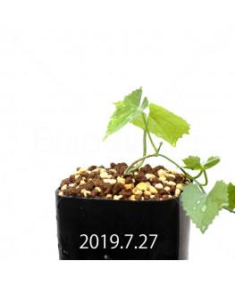 Ibervillea lindheimeri EQ793 Seedling 15162