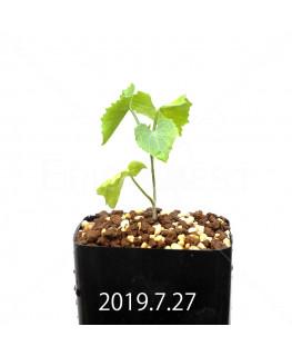 Ibervillea lindheimeri EQ793 Seedling 15163