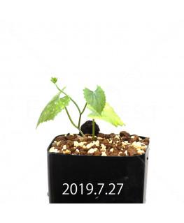 Ibervillea lindheimeri EQ793 Seedling 15164