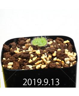 Eriospermum erinum EQ808 Seedling 16019