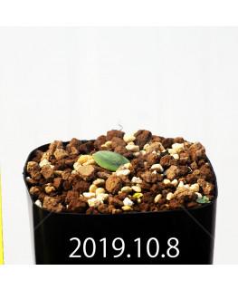 Eriospermum erinum EQ808 Seedling 16024