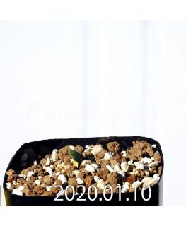 Eriospermum erinum EQ808 Seedling 16032