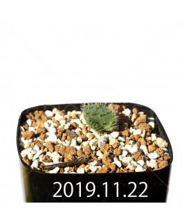 Eriospermum erinum EQ808 Seedling 16034