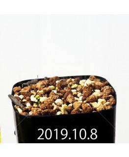 Eriospermum erinum EQ808 Seedling 16038