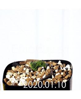 Eriospermum erinum EQ808 Seedling 16039