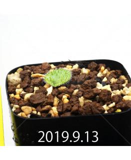Eriospermum erinum EQ808 Seedling 16045