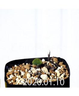 Eriospermum erinum EQ808 Seedling 16055