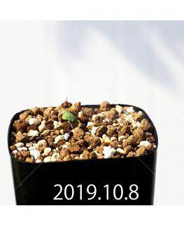 Eriospermum erinum EQ808 Seedling 16056