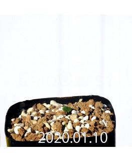 Eriospermum erinum EQ808 Seedling 16058