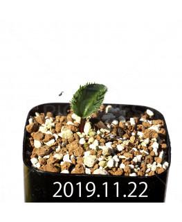 Eriospermum erinum EQ808 Seedling 16059