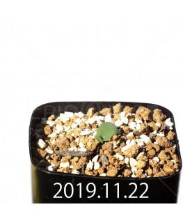 Eriospermum erinum EQ808 Seedling 16065