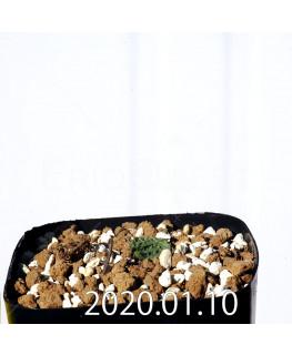 Eriospermum erinum EQ808 Seedling 16067
