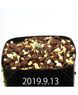 Eriospermum erinum EQ808 Seedling 16069