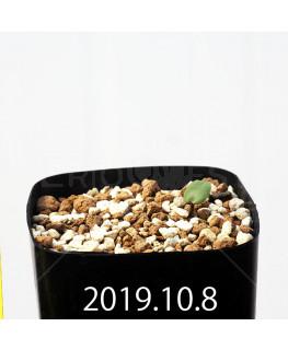 Eriospermum erinum EQ808 Seedling 16073
