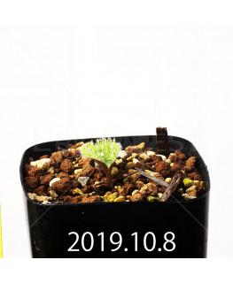 Eriospermum erinum EQ808 Seedling 16082
