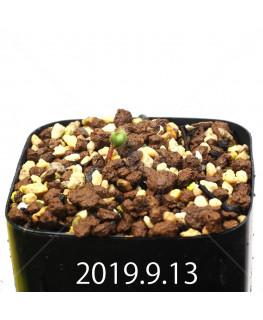 Eriospermum erinum EQ808 Seedling 16084