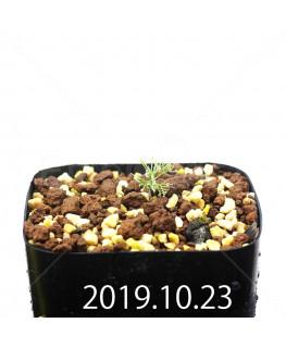 Eriospermum paradoxum EQ283 Seedling 16847
