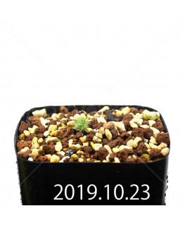 Eriospermum paradoxum EQ283 Seedling 16848