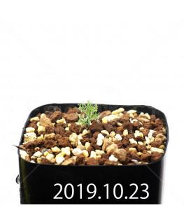 Eriospermum paradoxum EQ283 Seedling 16854