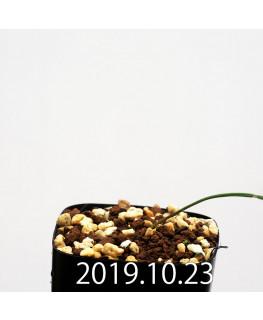 Lapeirousia silenoides EQ706 Seedling 17194