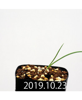 Lapeirousia silenoides EQ706 Seedling 17199