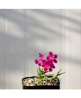 Lapeirousia silenoides EQ706 Seedling 17202