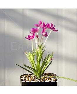 Lapeirousia silenoides EQ706 Seedling 17204