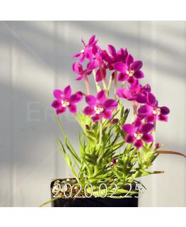 Lapeirousia silenoides EQ706 Seedling 17207