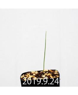 Lapeirousia silenoides EQ706 Seedling 17213