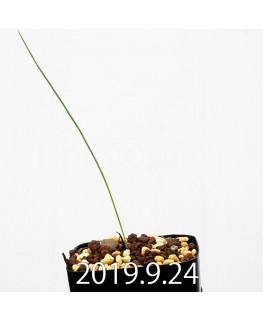 Lapeirousia silenoides EQ706 Seedling 17216