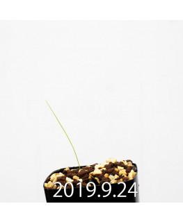 Lapeirousia silenoides EQ706 Seedling 17217