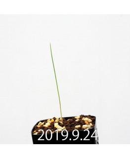 Lapeirousia silenoides EQ706 Seedling 17219