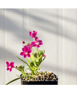 Lapeirousia silenoides EQ706 Seedling 17225