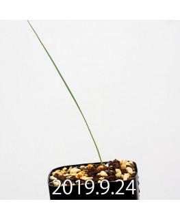 Lapeirousia silenoides EQ706 Seedling 17226