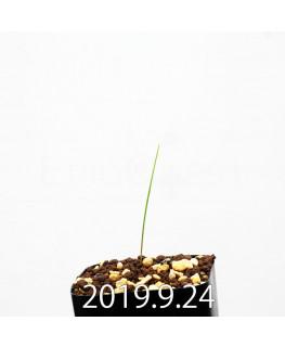 Lapeirousia silenoides EQ706 Seedling 17227