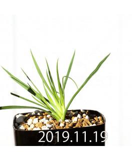 Lapeirousia silenoides EQ706 Seedling 17228