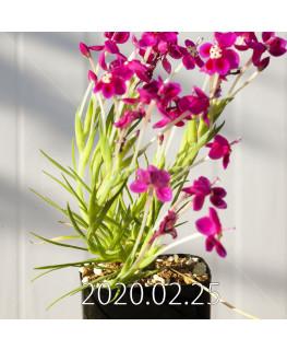 Lapeirousia silenoides EQ706 Seedling 17232