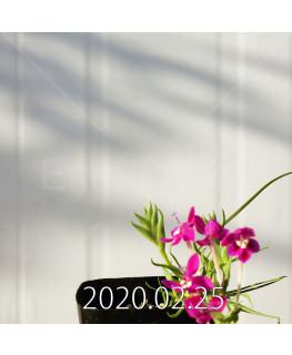 Lapeirousia silenoides EQ706 Seedling 17246
