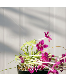 Lapeirousia silenoides EQ706 Seedling 17250