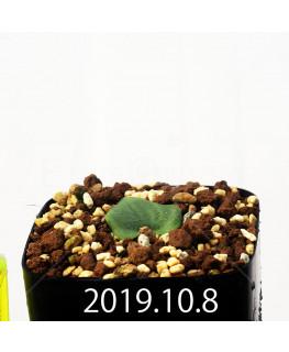 Eriospermum cooperi EQ558 Seedling 17661