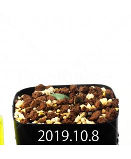 Eriospermum cooperi EQ558 Seedling 17662
