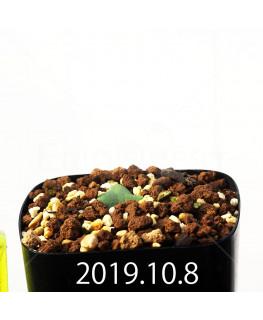 Eriospermum cooperi EQ558 Seedling 17669