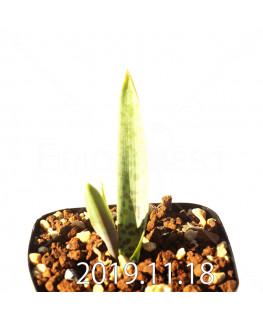 Lachenalia mediana DMC10319 Offset 18755